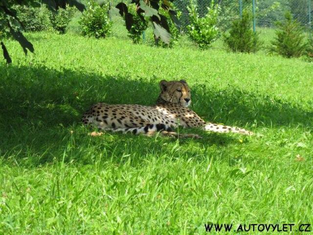 Gepard - Zoo Ústí nad Labem
