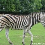 Zebra - Zoo Dvůr Králové nad Labem