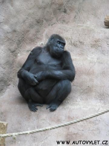 Gorila - Zoo Praha