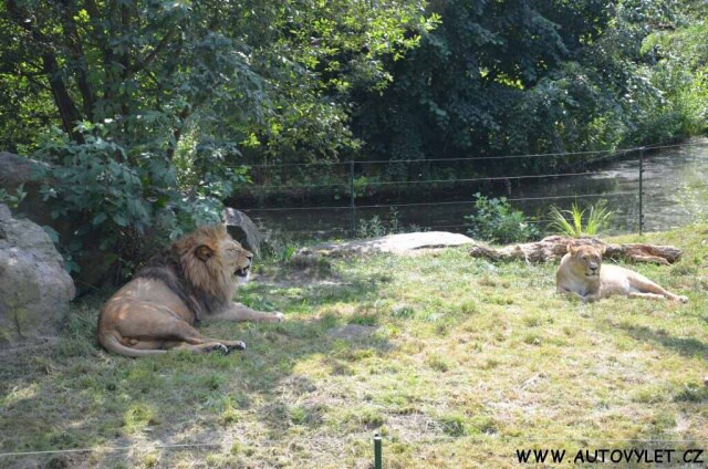 Lvi - Zoo Plzeň