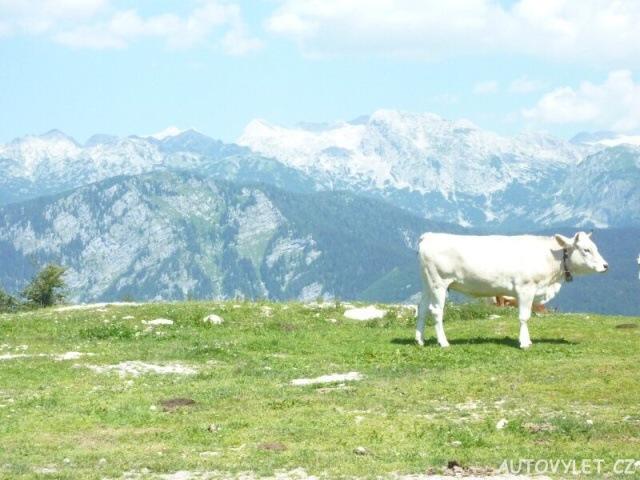 Kráva ve Slovinsku