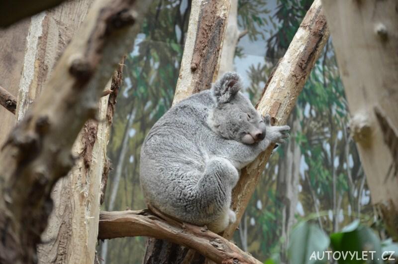 Koala - Zoo Lipsko