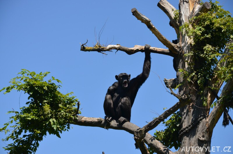 Šimpanz - Zoo Lipsko