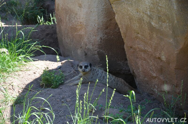 Surikata - Zoo Lipsko