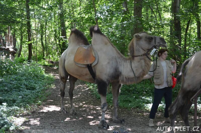 Velbloud - Zoo Lipsko