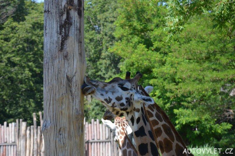 Žirafa - Zoo Lipsko