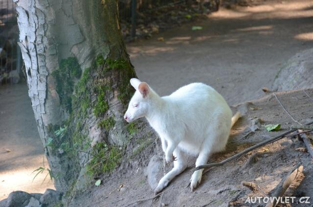 Bílý klokan - Wildpark Osterzgebirge