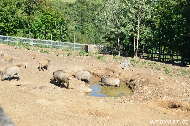 Divoká prasata - Wildpark Osterzgebirge