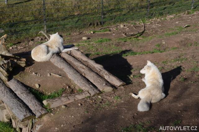 Bílí vlci - Zoo Laczna