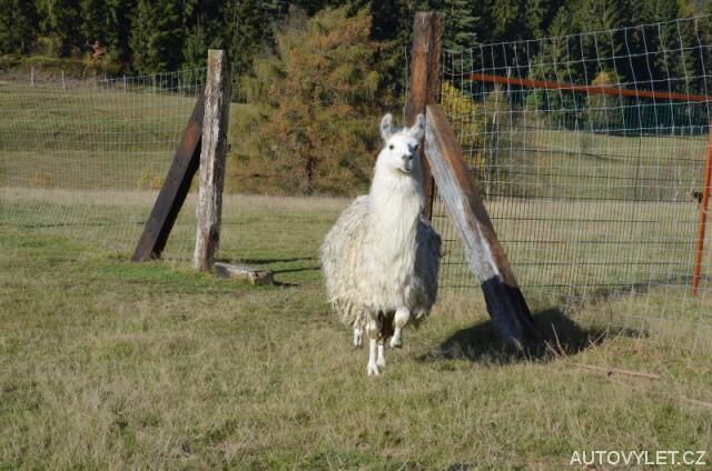 Lama - Zoo Laczna