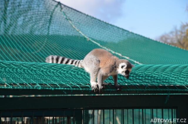 Lemur - Zoo Laczna