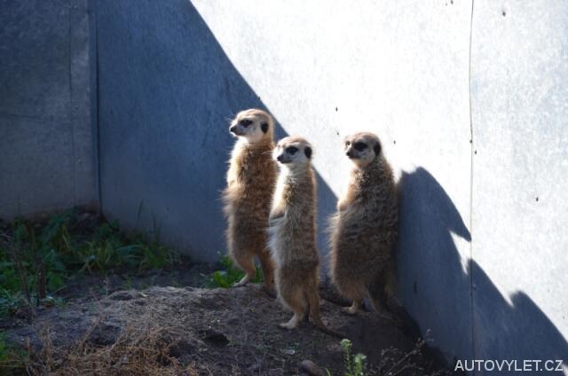 Surikaty - Zoo Laczna