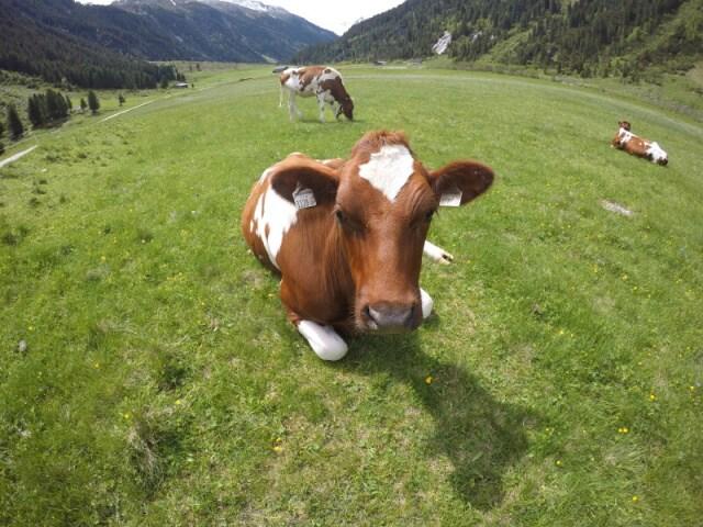 Kráva v Rakousku