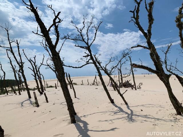 Stromy lezoucí z písečné duny v Polsku