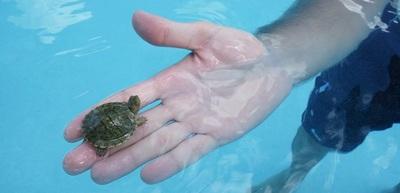 USA želva