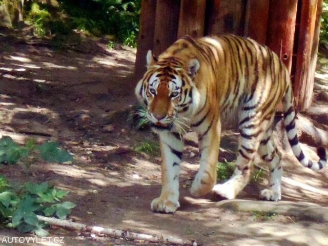 Zoo Norimberk - tygr