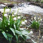 Údolí Chlébského potoka - bledule jarní