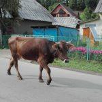 Kráva v Koločavě na Ukrajině