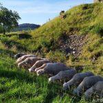 Ovce na Brníčku