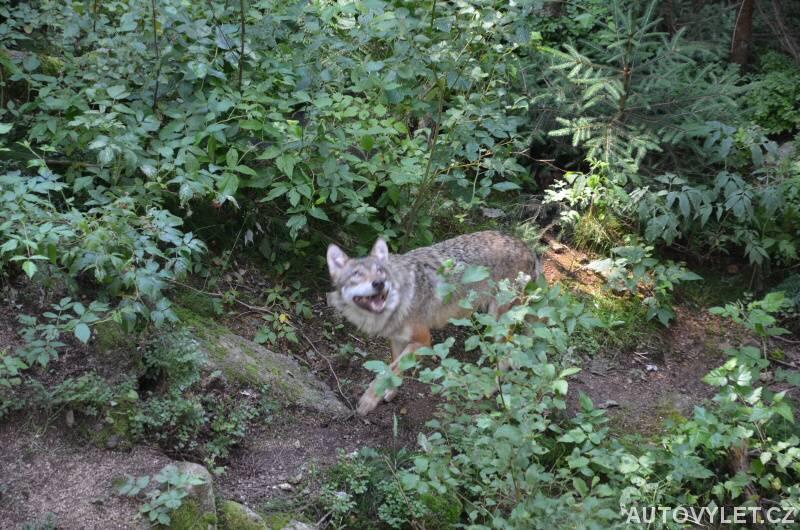 Vlk v Srní