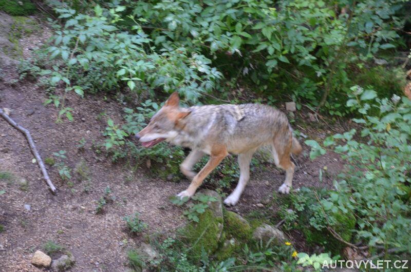 Vlk v Srní 2