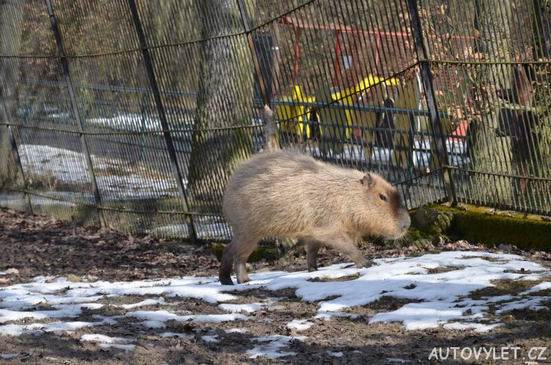 kapybara - zoo brno