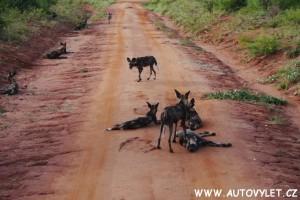 Keňa divocí psi