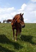 Koně v Rumunsku
