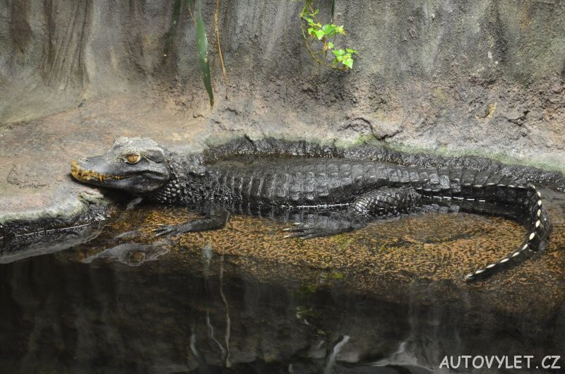 krokodýl - zoo brno