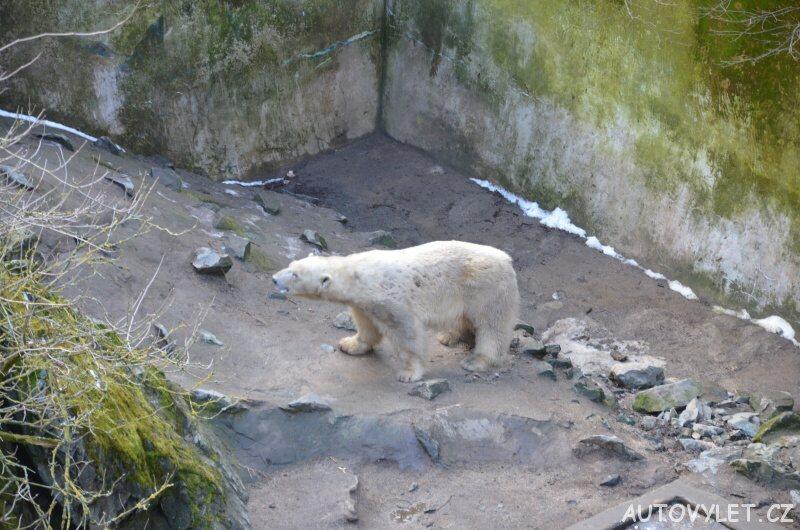 lední medvěd v zoo brno
