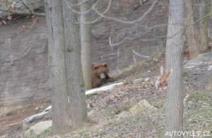 medvěd - zoo brno