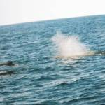 Velrybí safari v Norsku