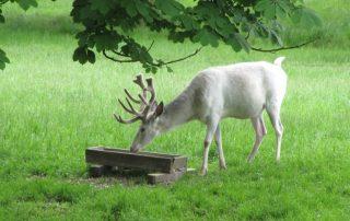 Obora Žleby - bílý jelen