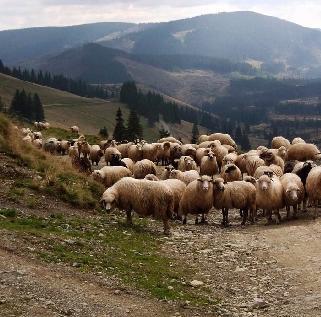 Ovce - Rumunsko