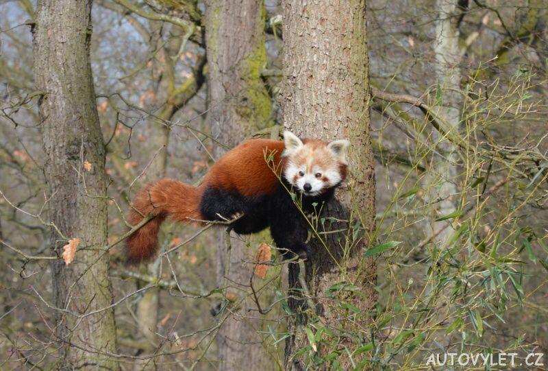 panda červená - zoo brno