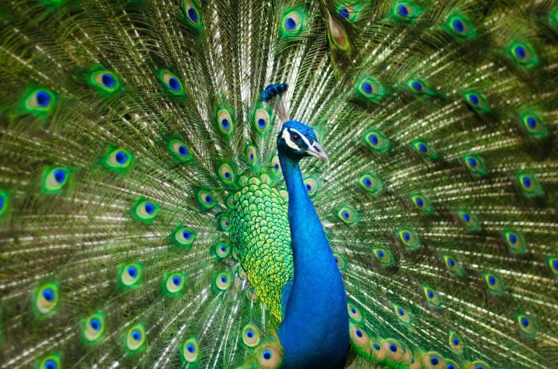 páv - peacock