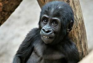 praha zoo gorila