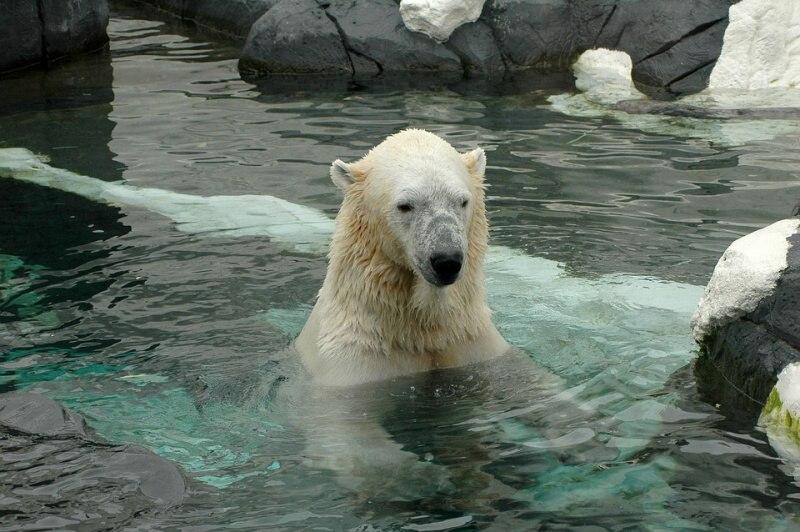 san diego zoo lední medvěd