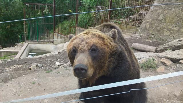 Točník hrad - medvěd