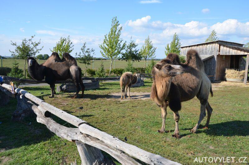 Velbloudi - nová zoo Chleby