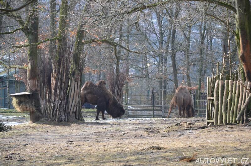 velbloudi - zoo brno