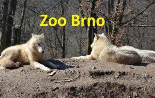 Vlci v zoo Brno