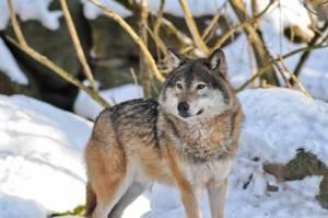 vlk v zoo