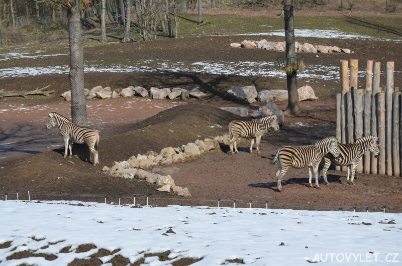 zebry - zoo brno