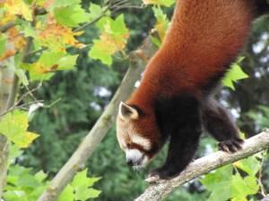 zoo de beauval francie panda