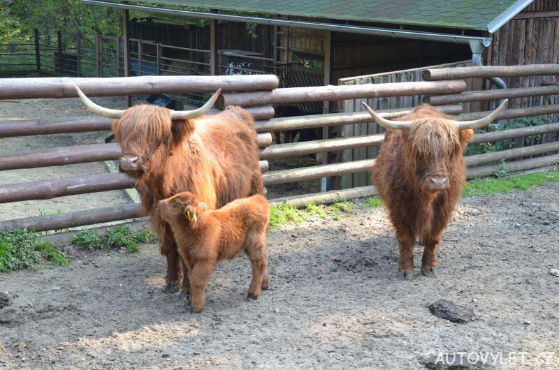zoo ostrava krávy