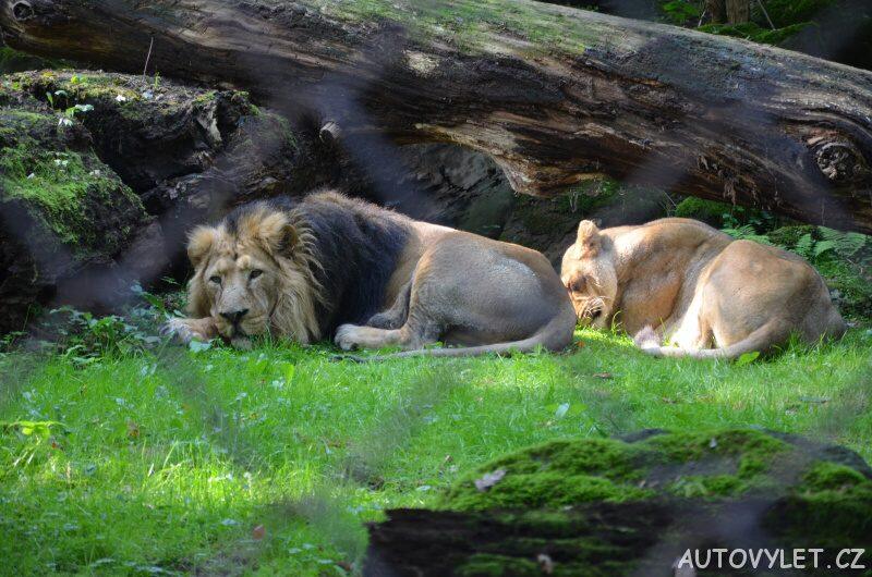 zoo ostrava lev a lvice