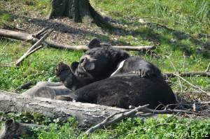medvěd v zoo ostrava