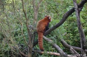 zoo ostrava panda červená