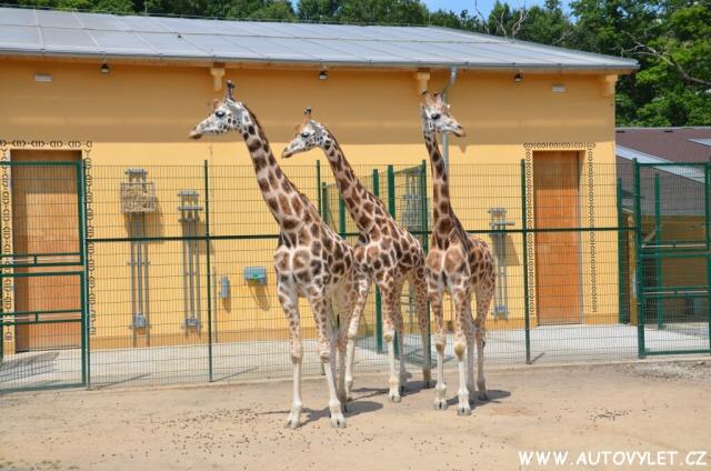 Zoo Plzeň žirafy